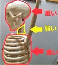 骨格模型で頭と首と胸郭を示した画像