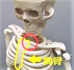 骨格模型で胸骨をしめした画像