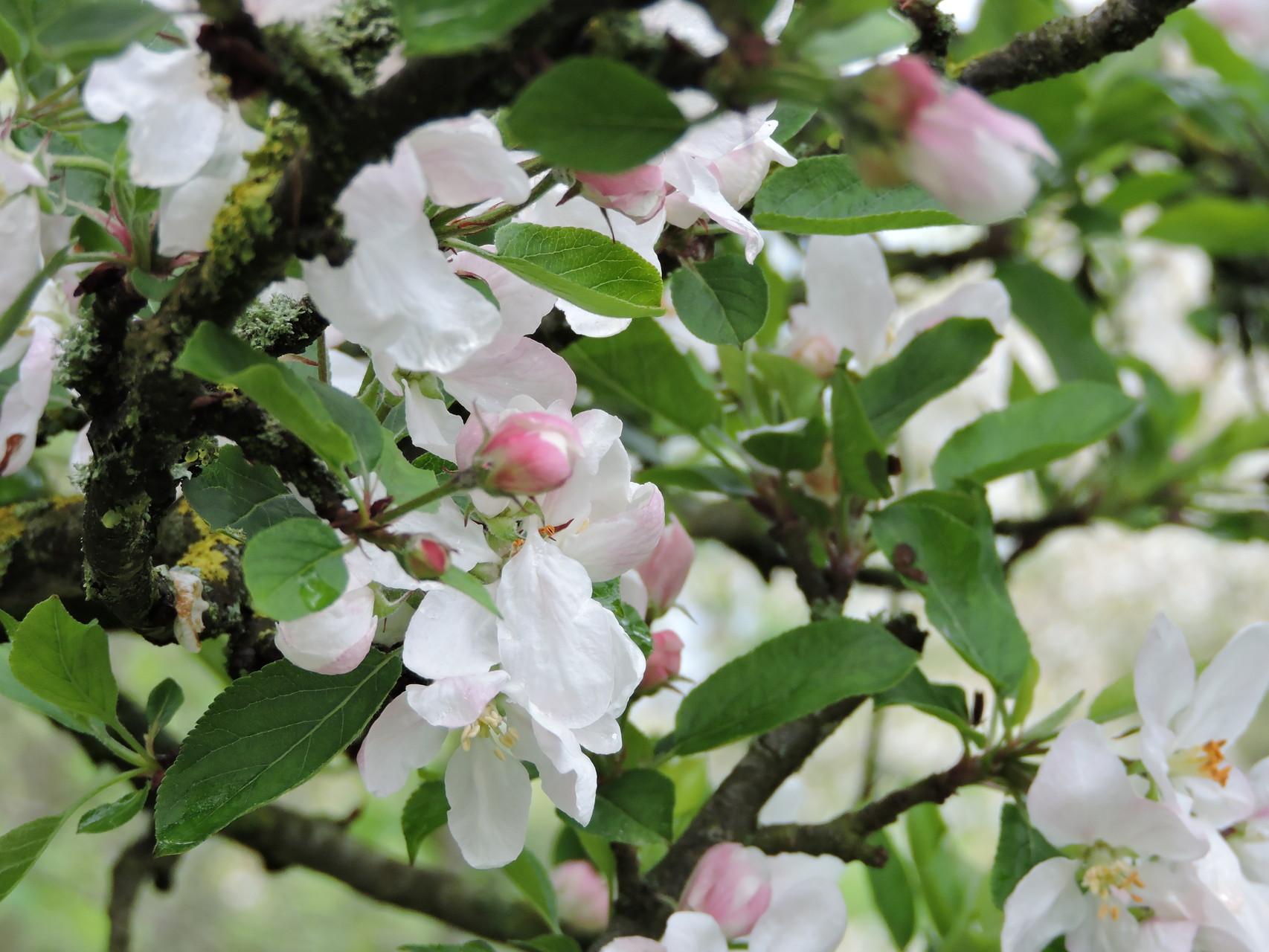 Nos beaux pommiers normands tout en fleurs