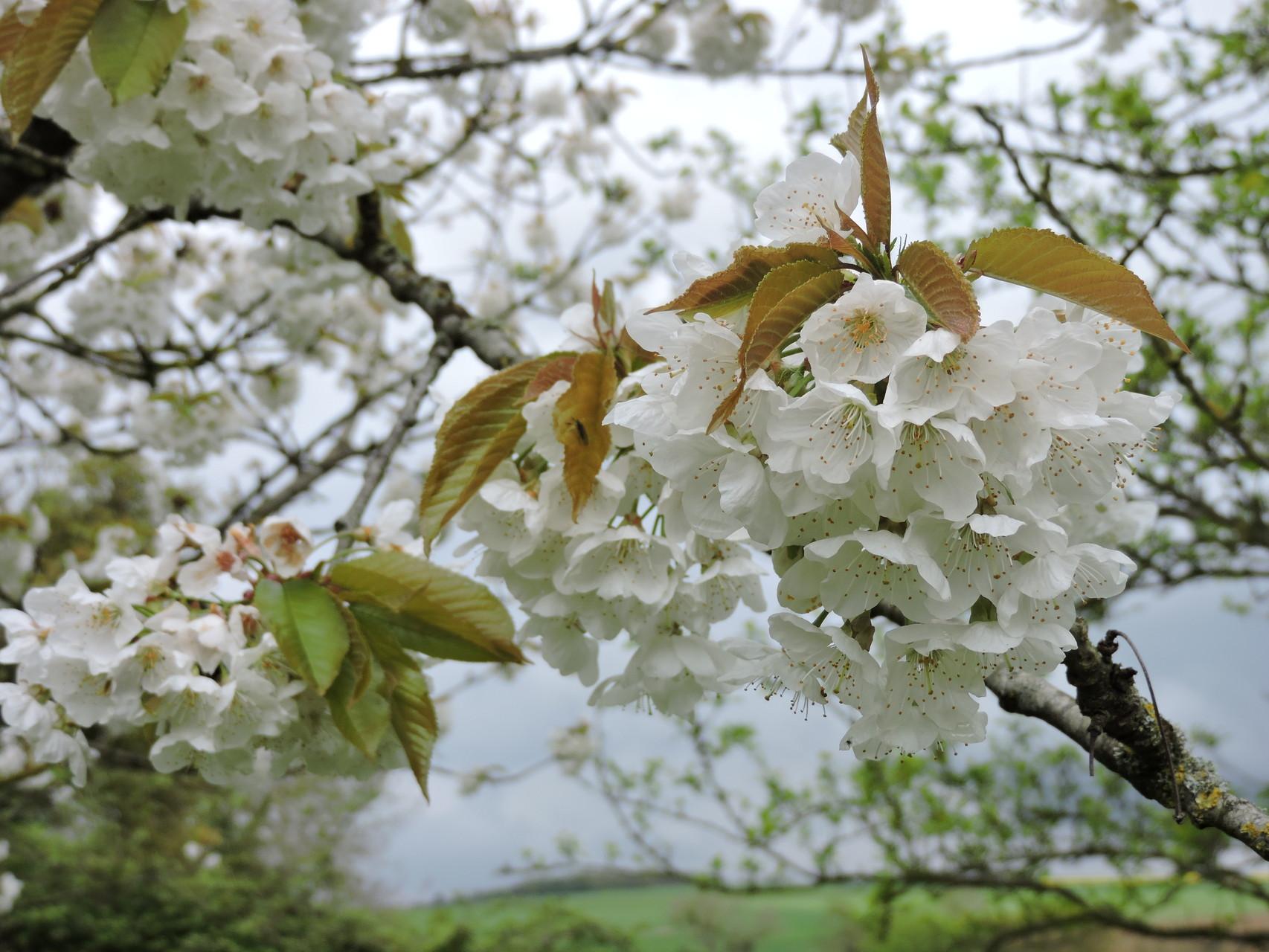 Le plaisir des randonnées de printemps (cerisiers en fleurs)