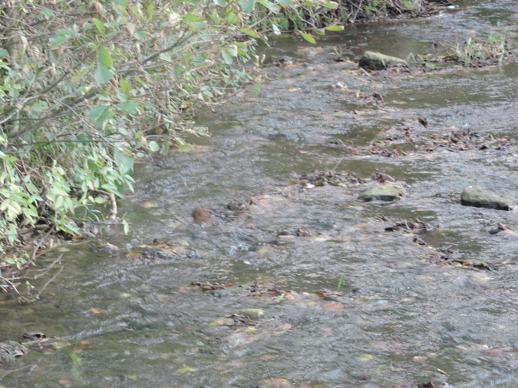 La Guigne .... avec sur la gauche un ragondin dans l'eau