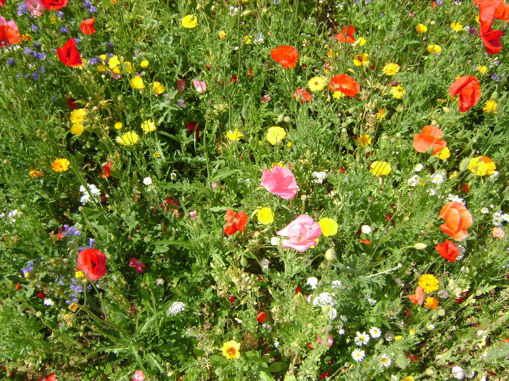Evrecy Jachères fleuries