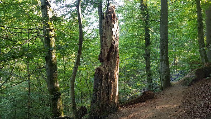 In der Großen Holzbachschlucht unterwegs - Habitatbaum
