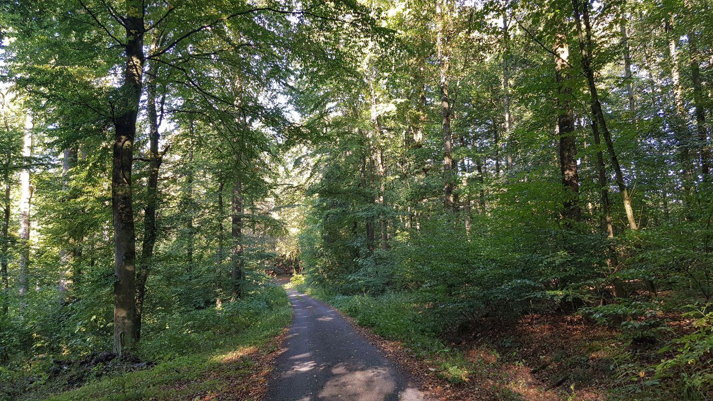 Wäller-Tour Hohe Hahnscheid Naturwald Waldmeister-Buchenwald der Gemeinde Irmtraut
