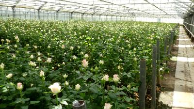 In einem Rosengewächshaus