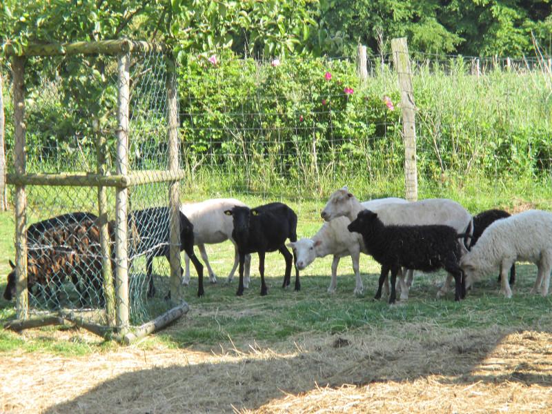 besondere Schafe