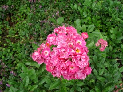 """Beetrose """"Orleans Rose"""""""