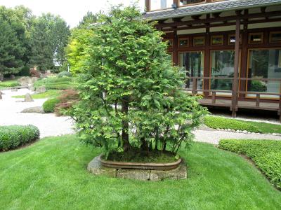 Urweltmannutbaum /Wald Form  Alter ca. 60-70 Jahre