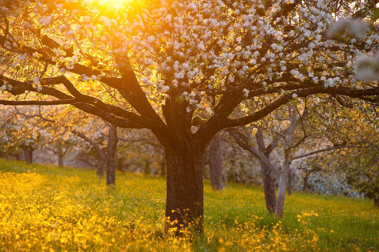 Apfelblüte Schorndorf Weiler