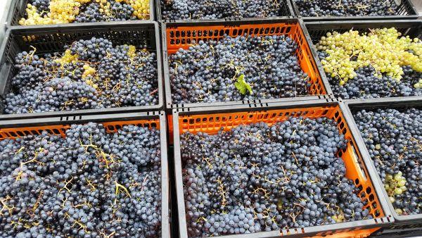 Selbstbau-Weine werden beim Ausstecken ausgeschenkt.