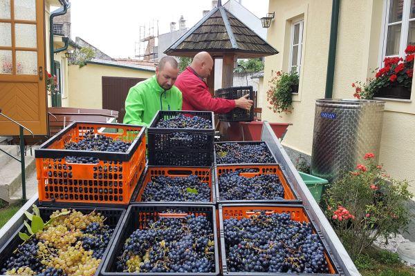 Die Trauben werden beim Heurigen zum Wein weiterverarbeitet.