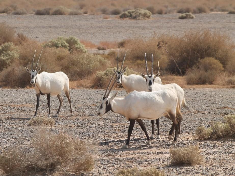 Safari in Jordanien: Oryx im Shaumari Wildlife Reserve