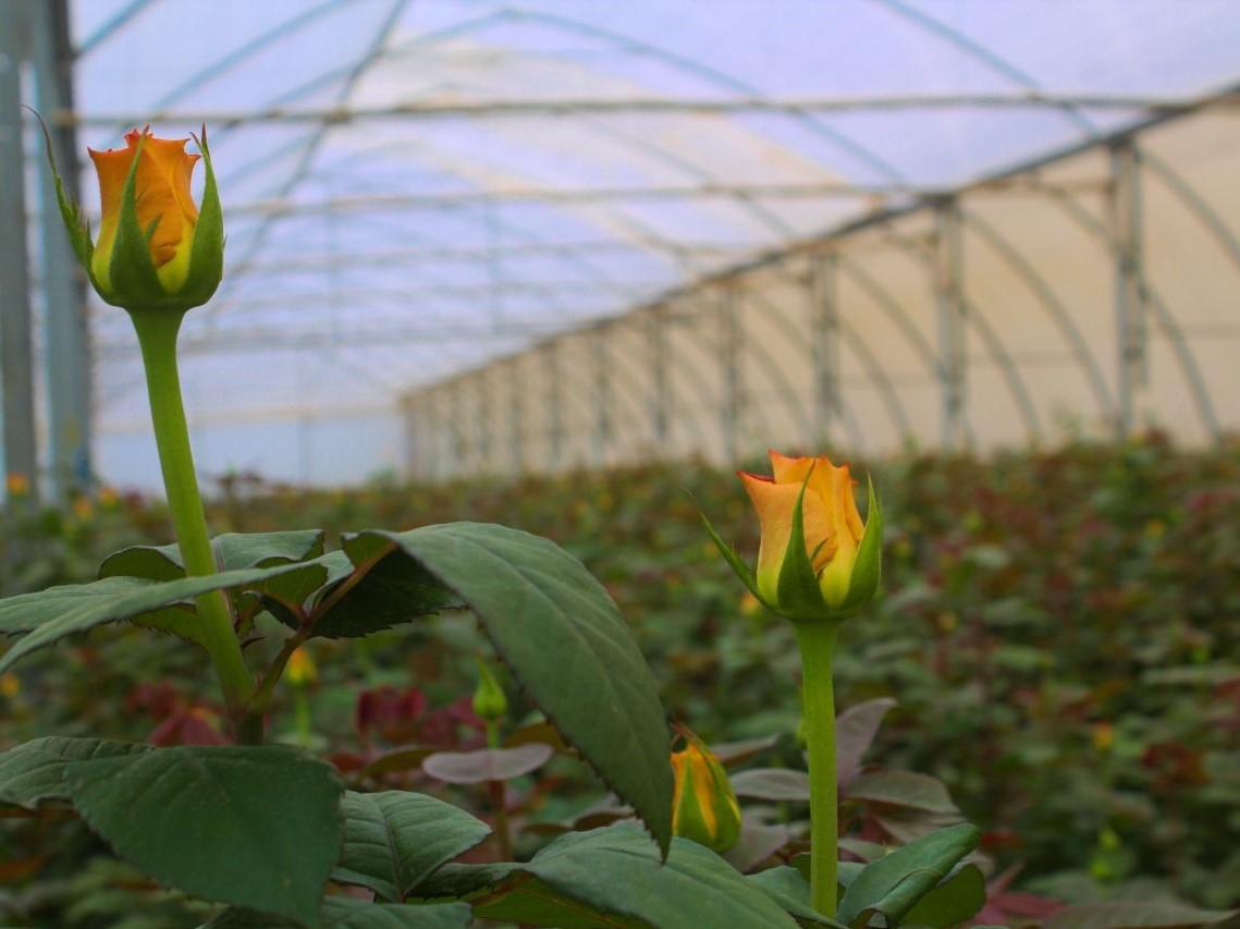 Der Ursprung der Rose: Auf einer Rosenfarm in Kenia