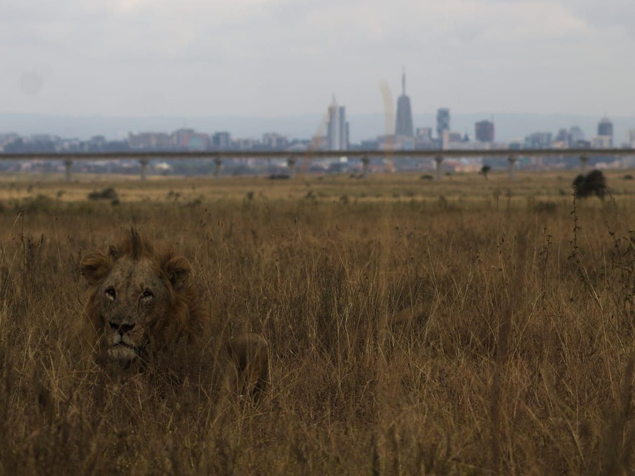 Giraffen vor der Skyline: Safari im Nairobi Nationalpark