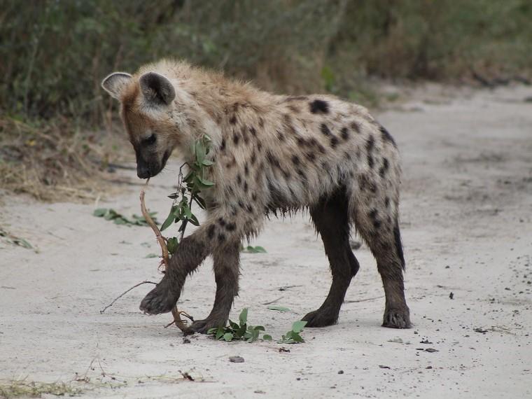 Safari in Botswana: Moremi Game Reserve im Okavangodelta