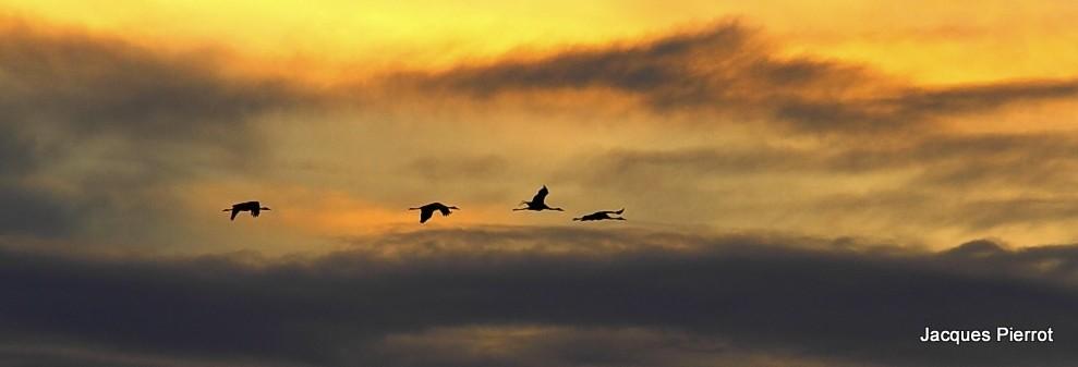 Samedi 05 novembre 2011 vol de grues cendrées à l'aube au dessus du lac du Der.
