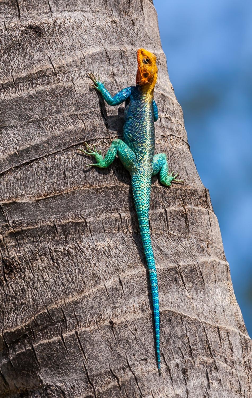 Agama lionotus - Kenia