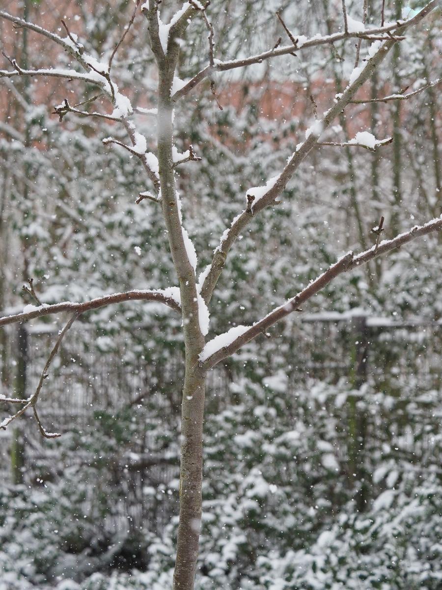 Apfelbäumchen im Schnee