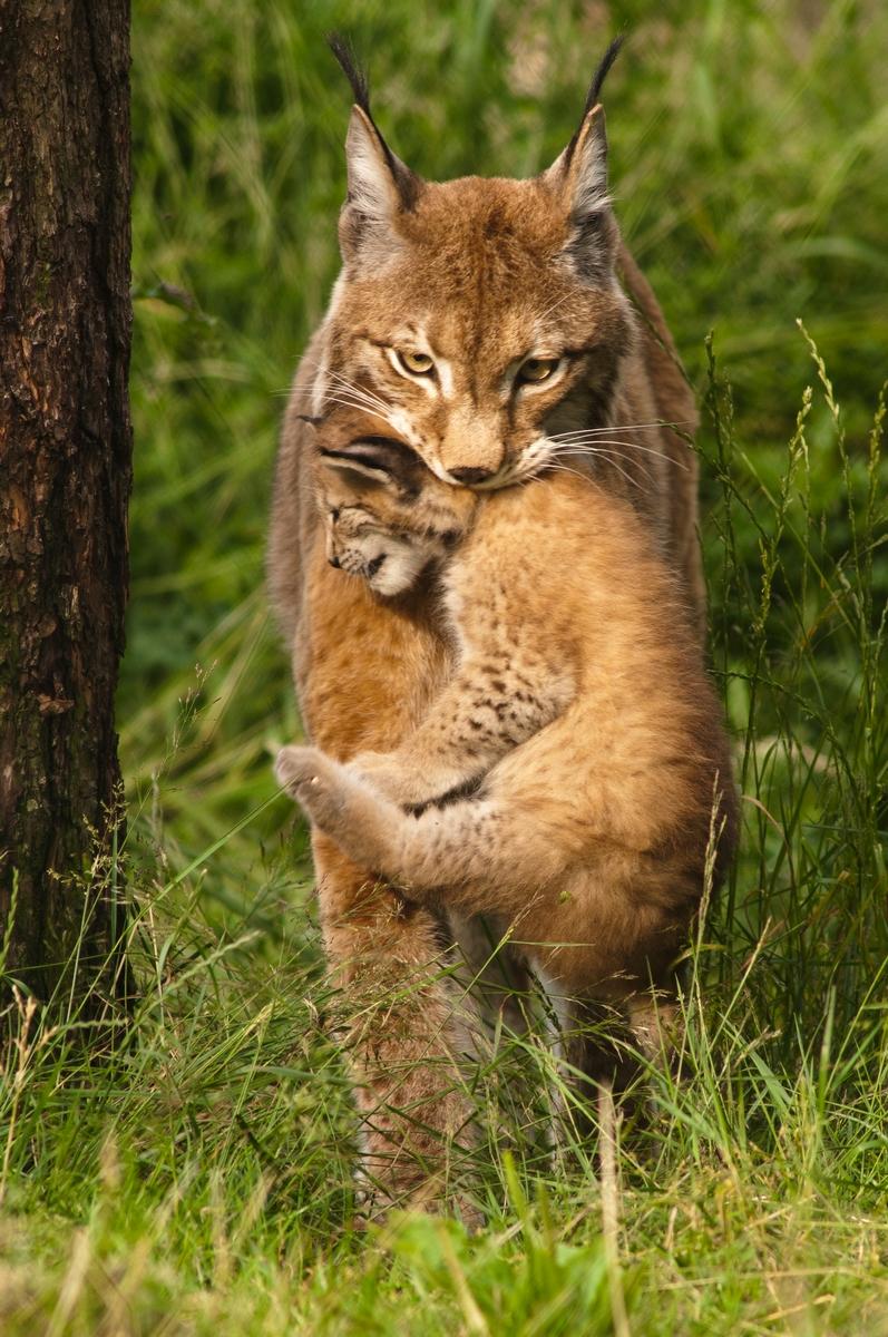 Luchs - Wildpark Granat
