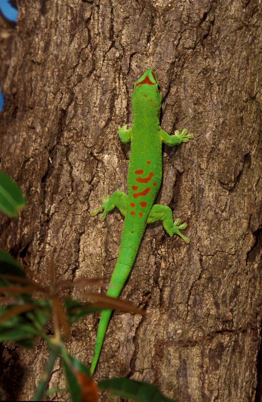 Phelsuma grandis - Madagaskar
