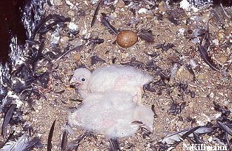 Bruterfolg im Jahr 2000! Zwei junge Wanderfalken