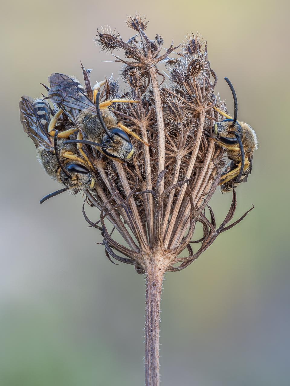 Furchenbienen