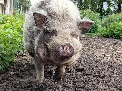 Schwein Momo