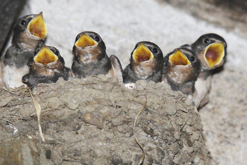 Junge Rauchschwalben (Foto von Ralph Sturm)