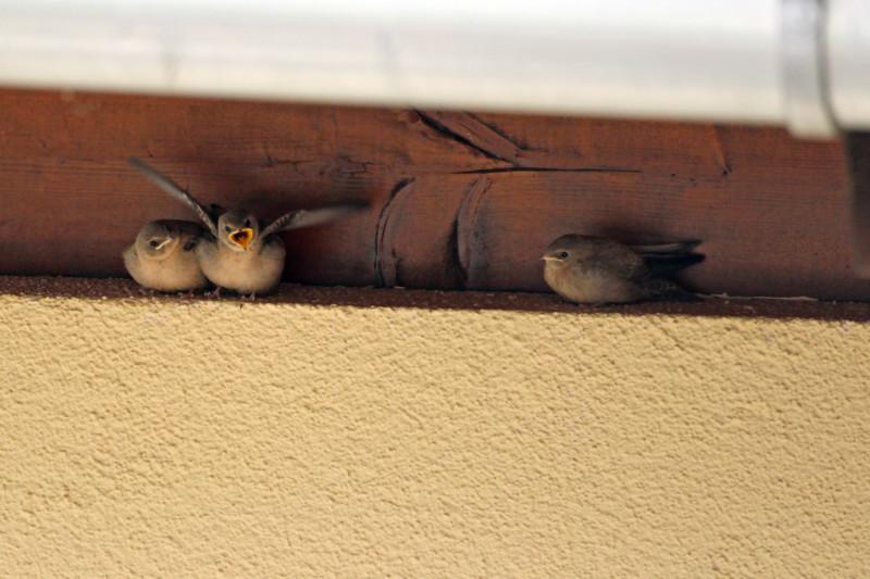 Junge Mauersegler (Foto: Claudia Becher, LBV-Bildarchiv)