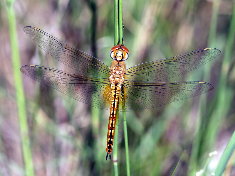 Die seltene Wanderlibelle (Foto: Graham Winterflood via flickr)