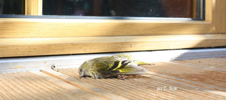 Glasflächen, Gefahr für Vögel