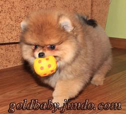 щенок померанского шпица, Вихрь Надежды Голд Беби