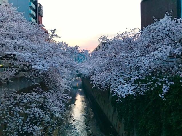 江戸川橋 さくら 桜 神田川 江戸川公園