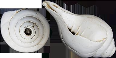 White conch. India.