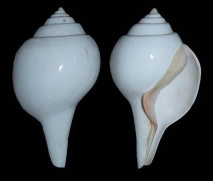 Dexter gastropod.