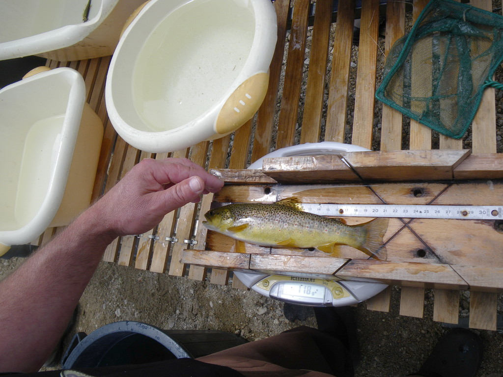 Mesurage puis pesage de chaque truite.