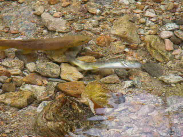 La femelle creuse le gravier à l'aide de sa queue.