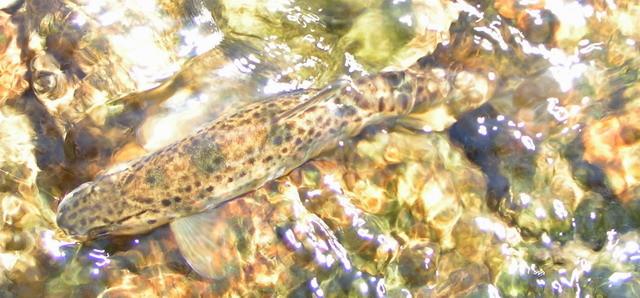 Le tacon, petit saumon qui a une vie aventureuse ...