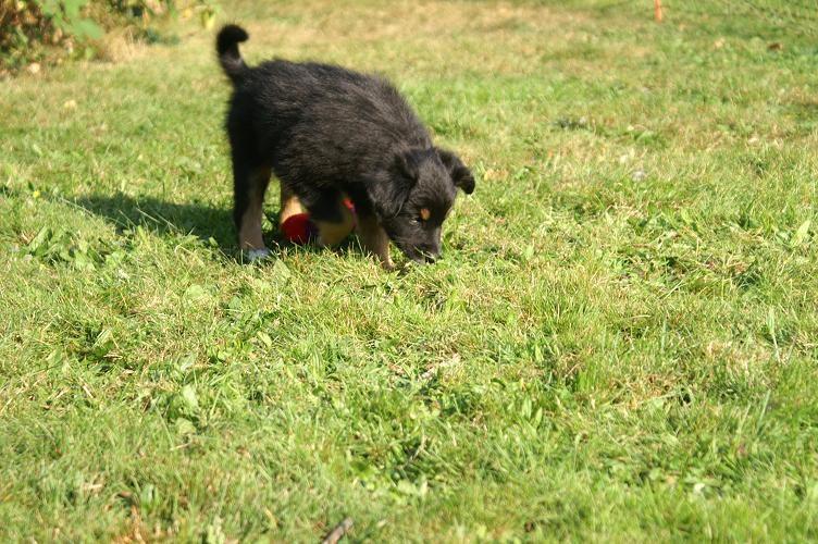 Assra läuft im Gras