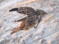 Foto: Grasmücke im Netz, Basem Rabia, NABU