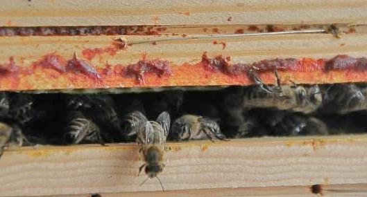 propolis bijenbalsem op de rand