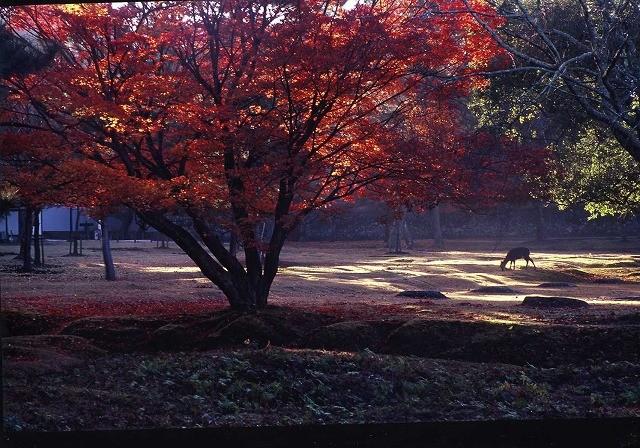 「 古 都 晩 秋 」  奈良公園       中野治朗