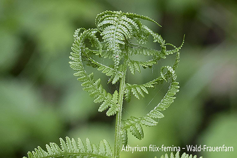 Wald-Frauenfarn  •  Athyrium filix-femina.