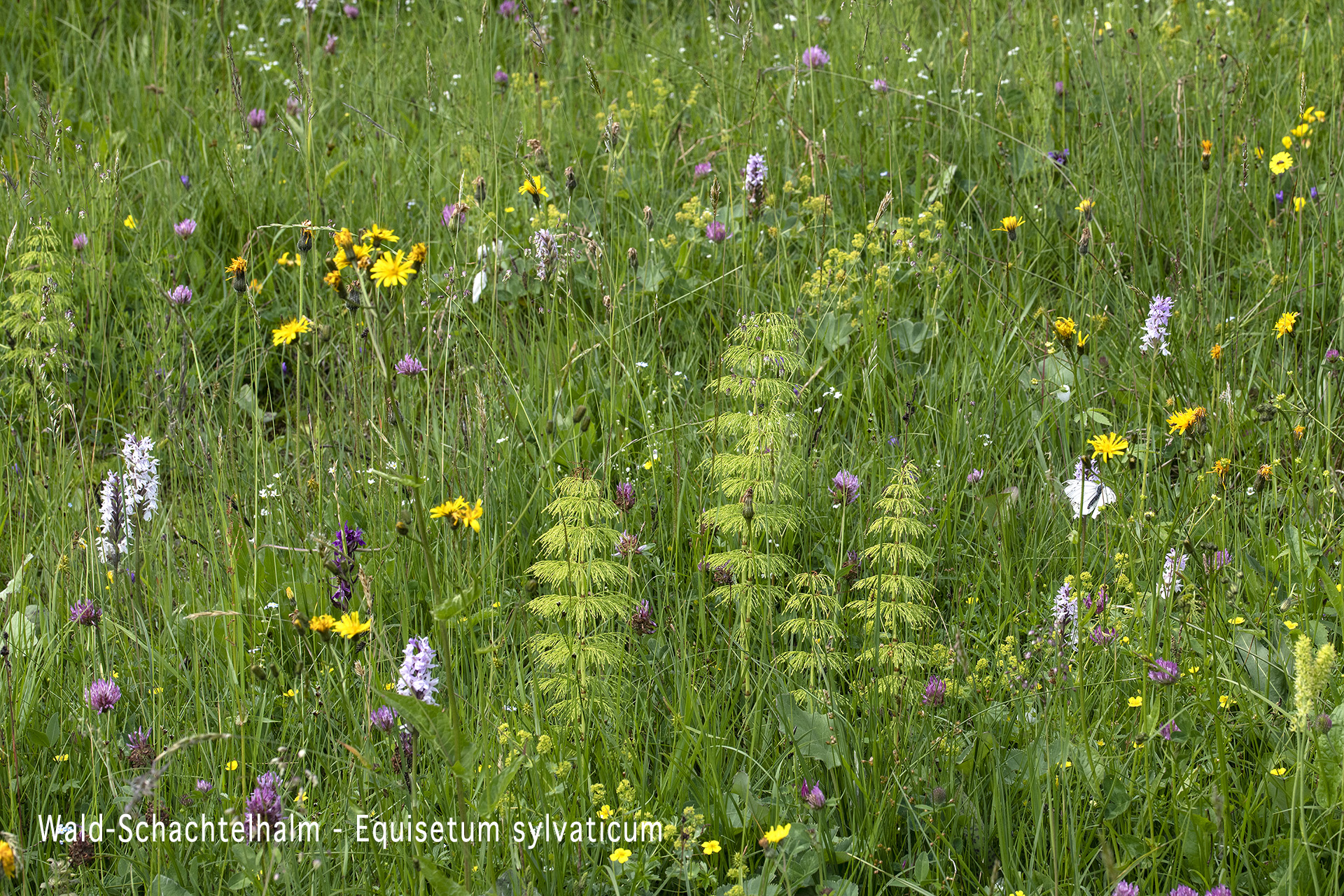 Wald-Schachtelhalm  •  Equisetum sylvaticum.