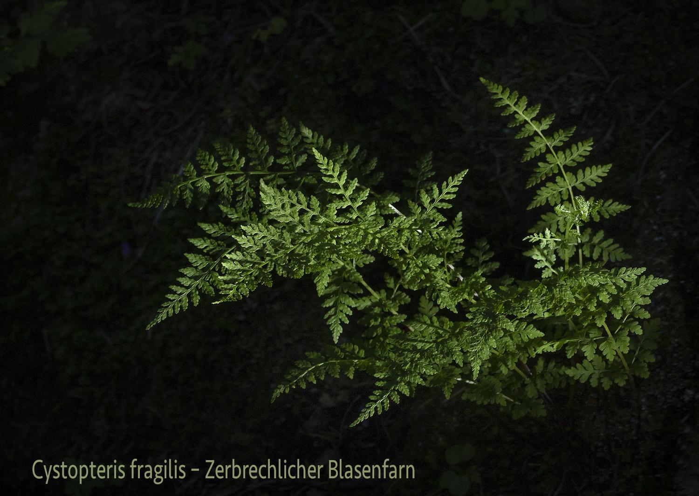 Zerbrechlicher Blasenfarn  •  Cystopteris fragilis aggr.