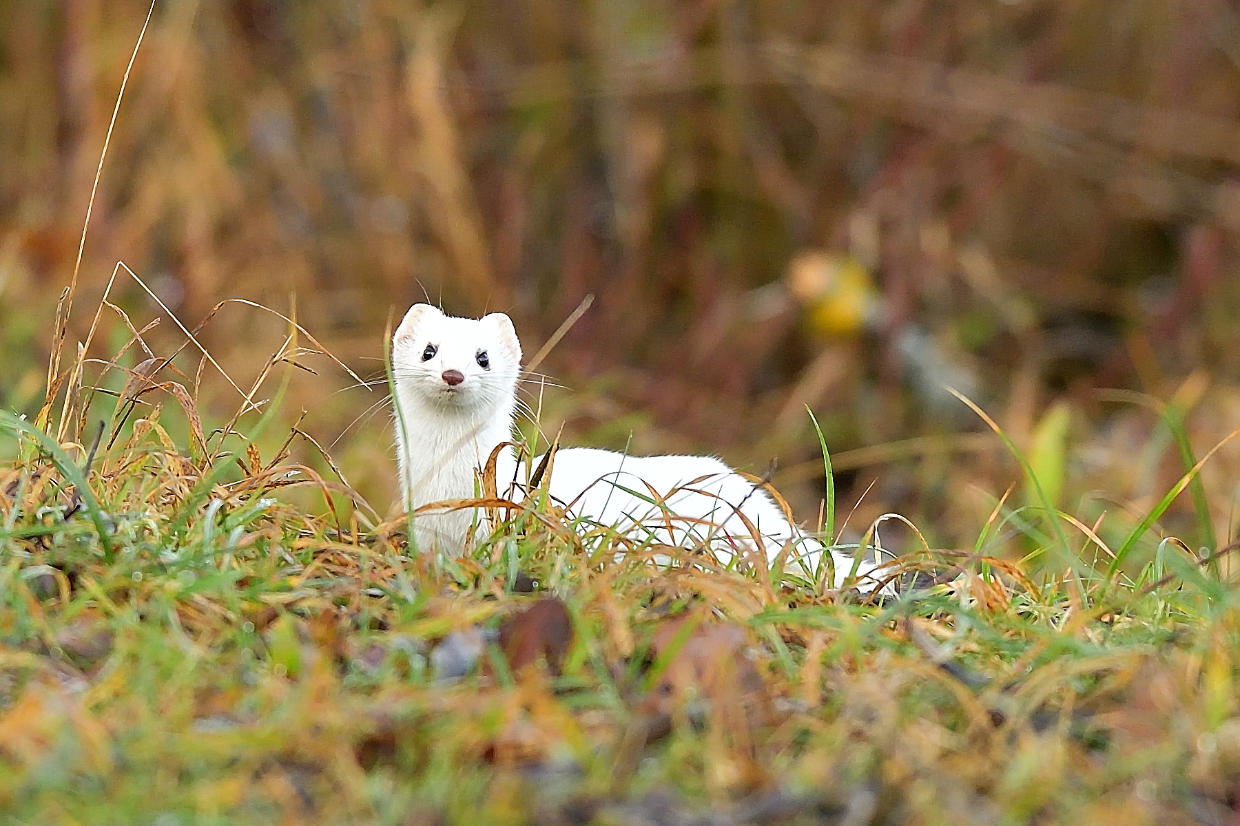 Hermelin (Mustela erminea) im Winterkleid