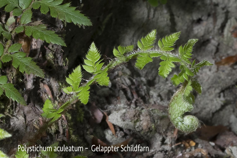 Gelappter Schildfarn  •  Polystichum aculeatum.