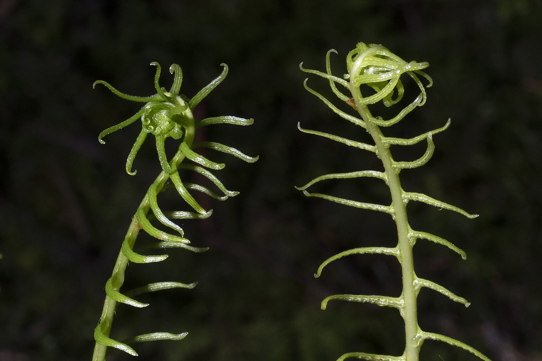 Rippenfarn  •  Struthiopteris spicant / Blechnum spicant.