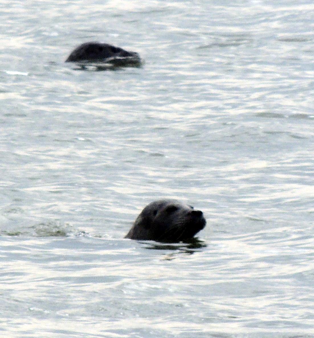Un phoque à la mer