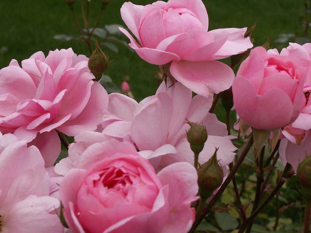 """Les """"Mil Roses"""""""